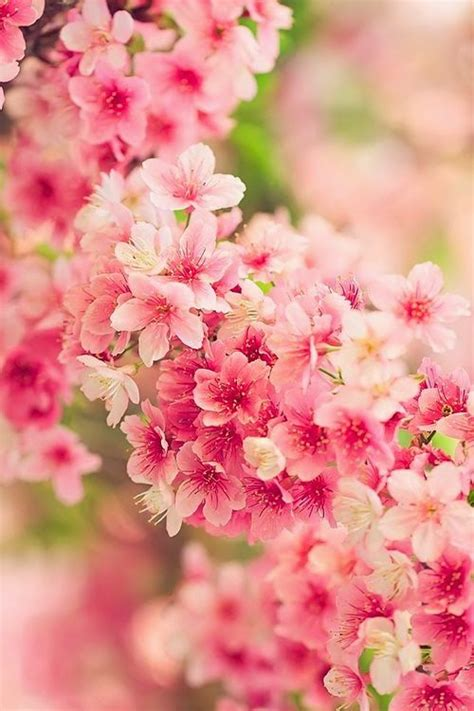 1000 Images About Cherry Blossom On Pinterest Rice Japanese Cherry Blossom Flower