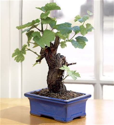 Cabernet Grapevine Bonsai It Or It by Wine Grape Bonsai Cabernet