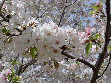 piante per piccoli giardini ciliegi da fiore per piccoli giardini piante da giardino