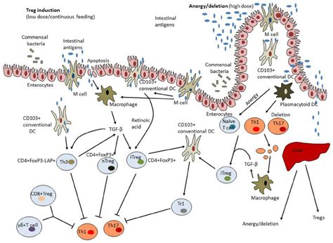 frontiers induction of regulatory t frontiers intestinal mucosal tolerance and impact of gut
