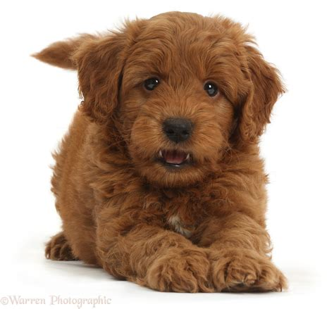 goldendoodle puppies new playful f1b goldendoodle puppy photo wp36749
