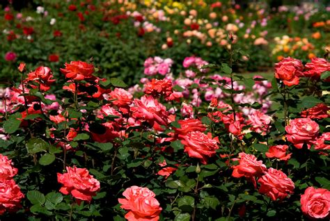 when is the best time to plant roses knockout roses