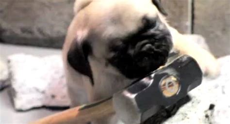 pug wrecking pug does miley s wrecking and channing tatum does damme splits rtm