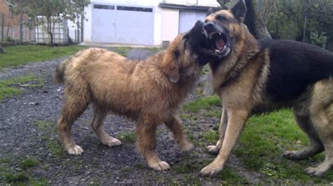 caucasian mountain attack caucasian shepherd attack www pixshark images galleries with a bite