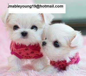 maltese puppies for sale in miami monkeys miami fl free classified ads