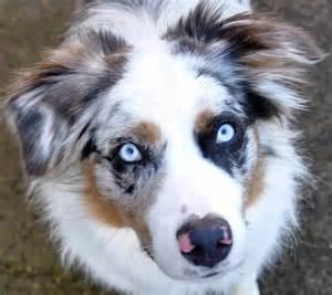 Louie photography blue merle australian shepherd