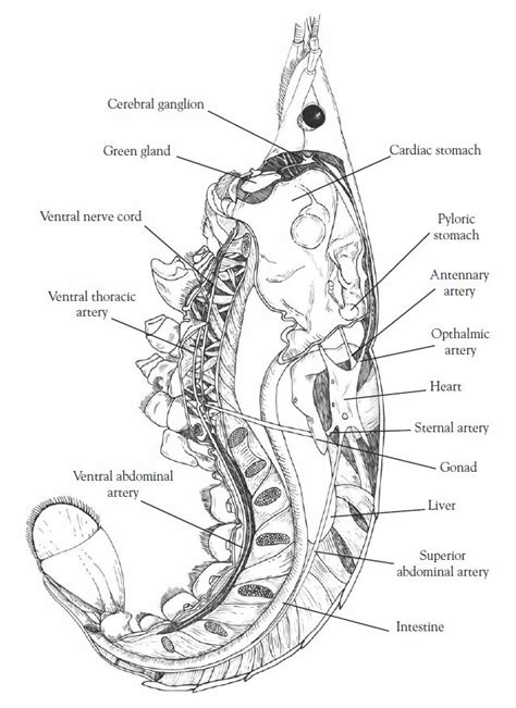 earthworm dissection guide carolina open versus closed circulatory system dissection of the crayfish and earthworm carolina