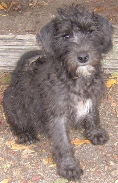 schnoodle puppies rescue newhairstylesformen2014 com mini schnoodle information newhairstylesformen2014 com