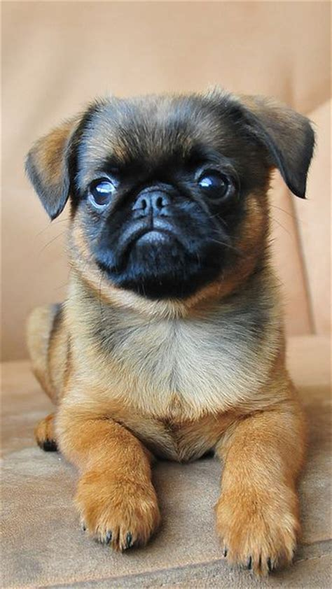 fluffy pug 19 strangely hybrid pug breeds you never knew existed