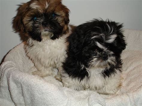 shih tzu puppies manchester shih tzu puppies pedigree manchester greater manchester pets4homes