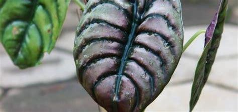 terupdate harga tanaman hias puring terbaru