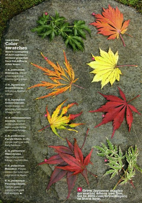 different types of japanese maples gardening pinterest