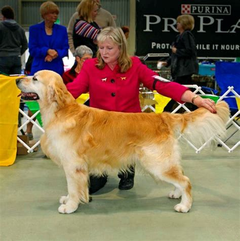 beaucroft golden retrievers beaucroft golden retrievers our dogs