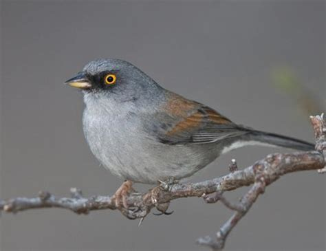 Yellow Eyed Mexican Junco Life Expectancy