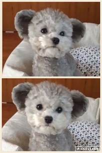 haircutsfordogs poodlemix best 20 poodle haircut ideas on pinterest poodle cuts
