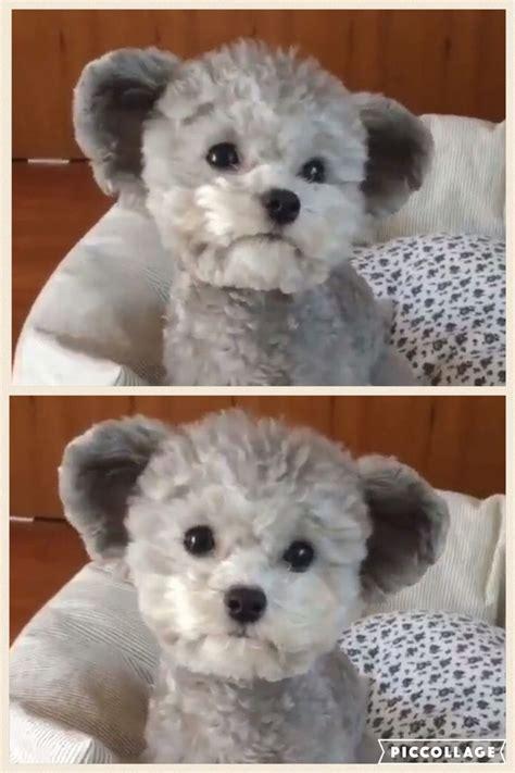 teddy bear haircut poodle dress  dog clothes