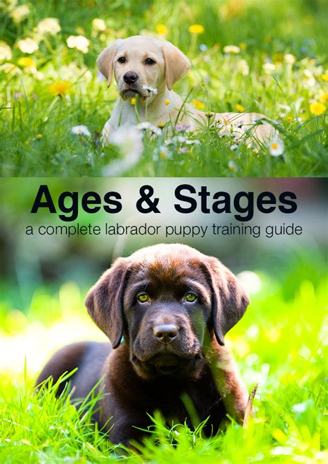 puppy schedule week by week puppy schedule ages and stages in labrador puppy