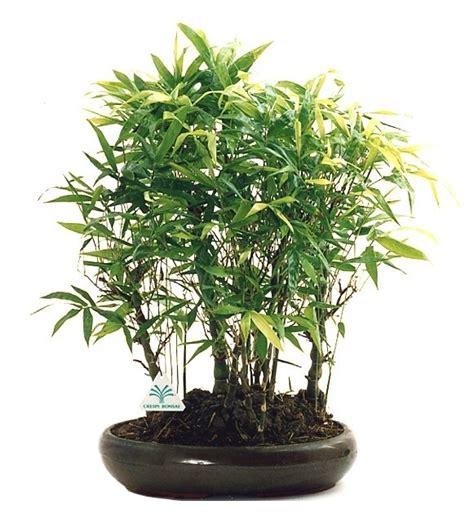 bambu in vaso canne di bamb in vaso great canne di bamb in vaso with