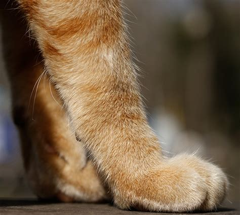 purpose of whiskers the explanation foreleg whiskers all about cats