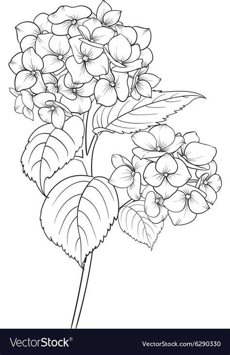 blooming flower hydrangea  white background mop head