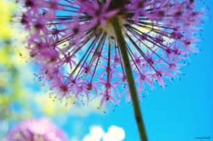 dandelion color colorful nature photography pretty purple dandelion
