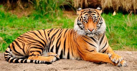 fotos animales tigres im 225 genes de tigres