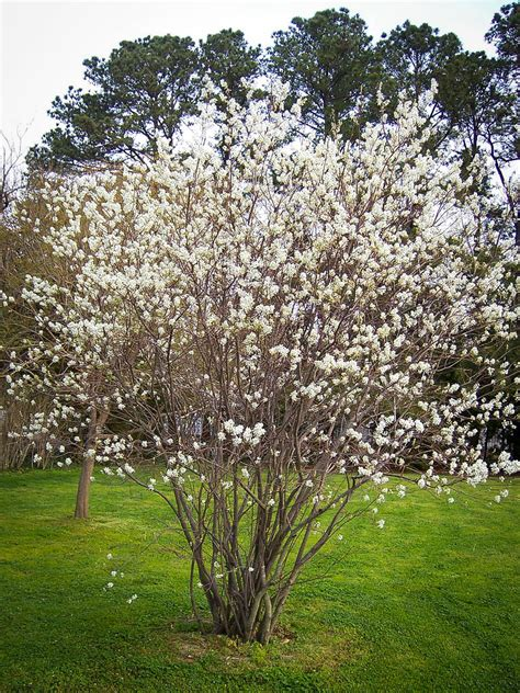 serviceberry for sale online the tree center