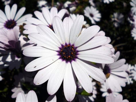 fiori simili alle margherite margherita africana dimorphotheca dimorphotheca