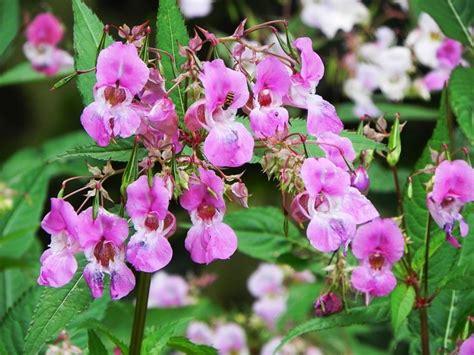fiori di back fiori di bach impatiens fiori di bach fiori di bach