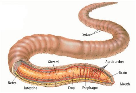 earthworm dissection mcgraw hill standardized test practice