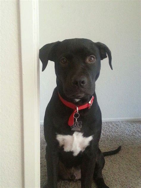 6 month pitbull puppy 25 best ideas about pitbull lab mix on lab pit mix pitbull mix breeds