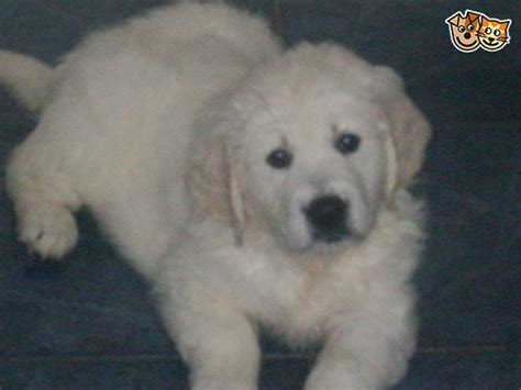 golden retriever puppies for sale in hshire chunky cheshire puppies cheadle greater manchester pets4homes