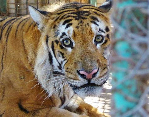 animal bengal tiger bengal tiger living in gaza zoo among mummified animals