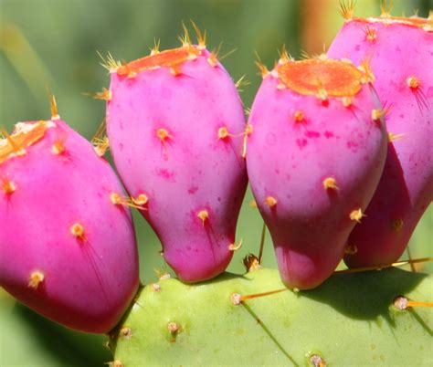 prickly pears the fruit hunter pinterest