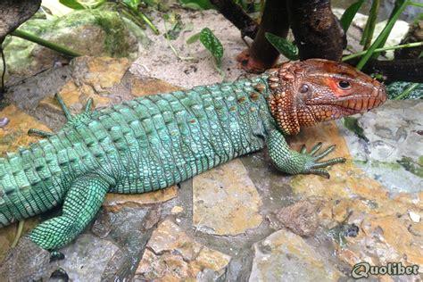 79922d1366214787-looking-adult-caiman-lizards-dracaena ...