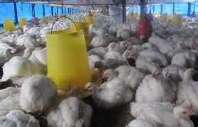 Vitamin Penambah Nafsu Makan Ayam Petelur stres menyebabkan nafsu makan ayam berkurang tips cara