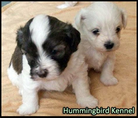 havanese puppies scotia havanese breeders canada s guide to dogs breeds