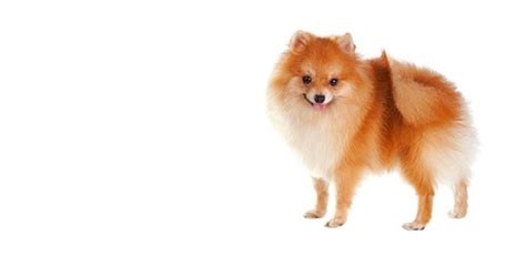 how big do pomeranian dogs get pomeranian breed information noah s dogs