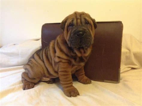 wrinkly puppies wrinkly shar pei breeds picture