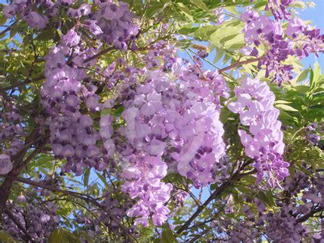 top 28 wisteria facts wisteria floribunda kuci beni wisteria information blue chinese