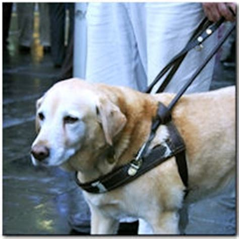 how do guide dogs get trained guide and service dogs rehabilitation and prosthetic services