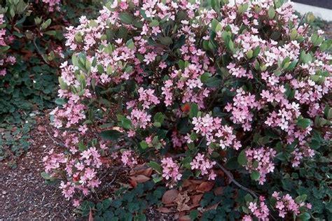 broadleaf evergreen shrub evergreen pinterest