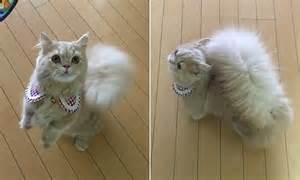 minuet kitten  tail  mistaken   rodent
