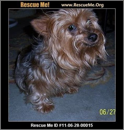 yorkie animal rescue paws yorkie sanctuary rescue rogers ar rescue animals