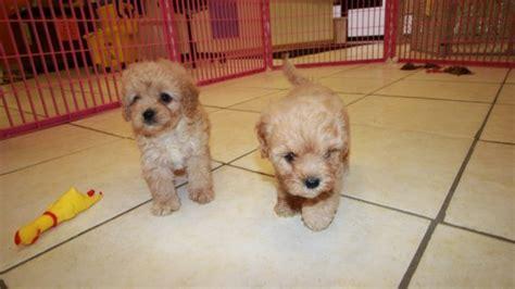 mini doodle atlanta special miniature goldendoodle puppies for sale in atlanta
