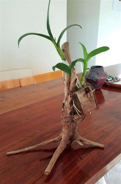 orchid plant mounted  driftwood stand dendrobium plant