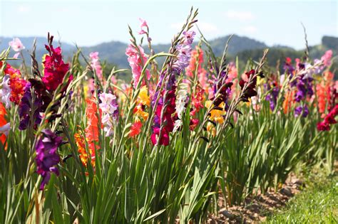 Gladiolen In Der Vase by Gladiolen 187 Den Besten Standort Finden
