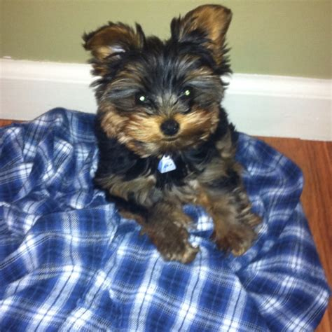 the cutest yorkie in the world pin by mangini on yorkies
