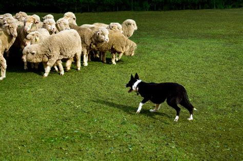 sheep herding dogs do herding dogs automatically how to herd animal planet