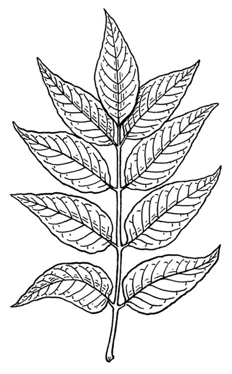 coloring pages of neem tree file ash leaves psf png wikimedia commons